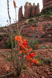 开花在Sedona的沙漠仙人掌 库存图片