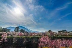 开花在shimabara城堡的李子开花 库存图片