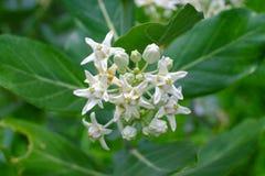 开花在t的特写镜头白色冠花或Calotropis gigantea 库存照片