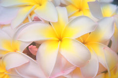 开花夏威夷人 免版税库存照片