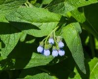 开花多刺的雏菊、紫草科植物Asperum,花和叶子特写镜头,选择聚焦,浅DOF 免版税库存图片