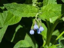 开花多刺的雏菊、紫草科植物Asperum,花和叶子特写镜头,选择聚焦,浅DOF 库存照片