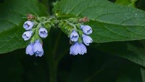 开花多刺的雏菊、紫草科植物Asperum,花和叶子特写镜头,选择聚焦,浅DOF 库存图片