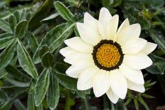 开花天人菊属植物 库存图片