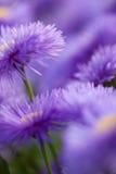 开花好的模式紫罗兰 库存照片