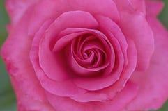 开花宏观粉红色上升了 图库摄影