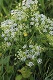 开花小的白色 庭院杂草 开花花园夏天 本质在夏天 免版税库存照片