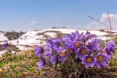 开花山雪背景snowdrops 库存照片
