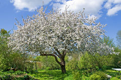 开花庭院结构树 库存照片