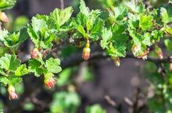 开花开花在灌木分支的鹅莓  免版税图库摄影