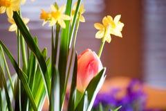 开花户内在早晨阳光下的美丽的五颜六色的春天电灯泡 免版税库存照片