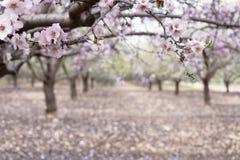 开花扁桃在春天果树园背景中 免版税库存图片