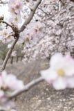 开花扁桃在春天果树园,浅景深 库存照片
