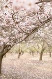 开花扁桃在春天果树园 库存图片