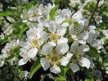 开花接近的深度域梨浅 背景叶子绿色梨梨红色结构树 免版税库存图片