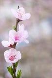 开花新鲜的桃红色春天结构树 免版税库存照片