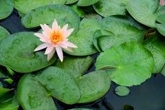 开花早晨的五颜六色的莲花 免版税库存照片