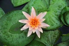 开花早晨的五颜六色的莲花 免版税图库摄影