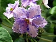 开花星浅粉红色与开花在绿色背景的紫色幻想颜色 免版税库存图片
