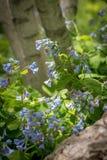 开花春天的会开蓝色钟形花的草 库存图片