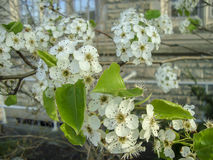 开花春天的白色樱桃花 库存图片