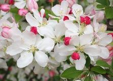 开花春天的白色樱花 库存照片