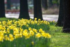 开花春天黄色黄水仙在公园开花 库存图片
