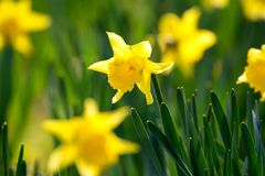 开花春天黄色黄水仙在公园开花 库存照片