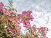 开花有多云天空背景的桃红色花 免版税库存照片