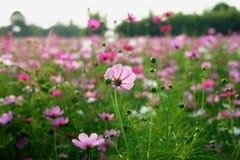 开花有被弄脏的背景的波斯菊 免版税库存照片