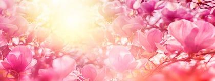 开花木兰在后照的太阳光,浅深度开花 被定调子的软的葡萄酒 8个看板卡eps文件招呼的包括的模板 自然全景ba 库存图片