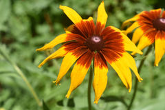 开花本质上的着迷的黑眼睛的苏珊 库存照片