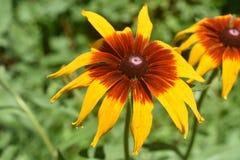 开花本质上的精制的黑眼睛的苏珊 库存照片