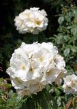 开花杂种香水月季 免版税库存照片