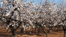 开花杏仁在种植园的春天开花 股票视频