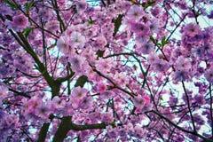 开花杏仁花在春天 库存照片