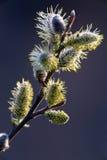 开花杨柳或杨柳柔荑花 在绽放的春天结构树 免版税库存图片