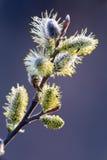 开花杨柳或杨柳柔荑花 棕枝全日的标志正统基督徒的 免版税图库摄影