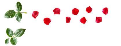开花构成 在白色后面隔绝的一朵红色玫瑰的瓣 库存图片