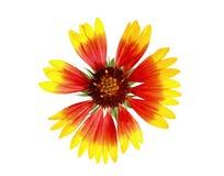 开花查出的天人菊属植物 免版税库存照片