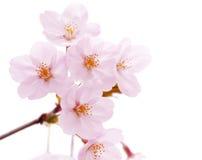 开花查出的樱桃花 库存照片