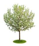 开花查出的结构树的苹果 免版税库存照片