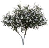开花查出的结构树 免版税库存照片