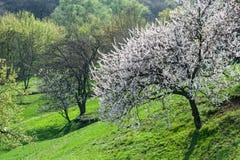开花树下坡在春天森林里 库存照片