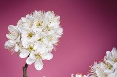 开花树和花 在紫罗兰色背景的美好的春天自然视图 春天和夏季的树概念 免版税库存照片