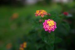 开花树篱花或马樱丹属花 库存图片