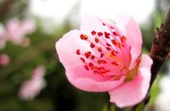开花桃子粉红色 免版税库存图片