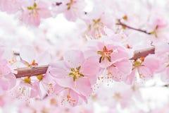 开花桃子 免版税库存图片