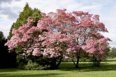开花桃红色春天结构树 库存图片