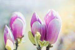 开花桃红色木兰在春天,花卉季节性背景开花 免版税库存图片